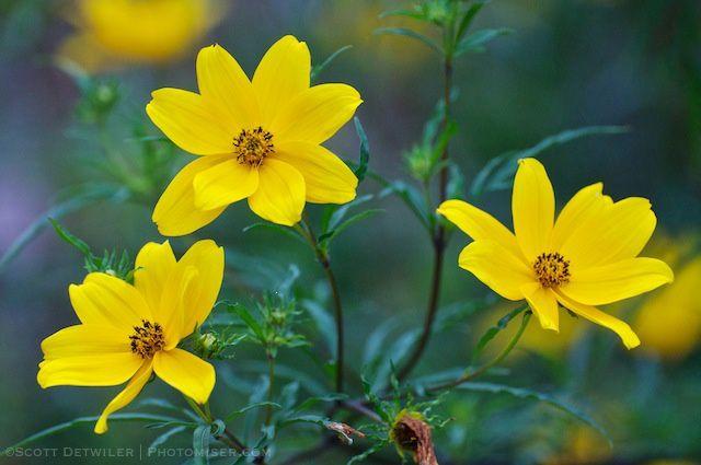 Tickseed Sunflower Triad