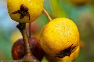 Yellow Crabapple