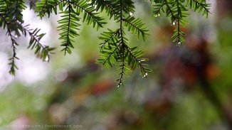 Eastern Hemlocks in the rain