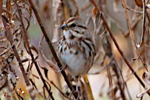 Juvenile White-throated Sparrow?