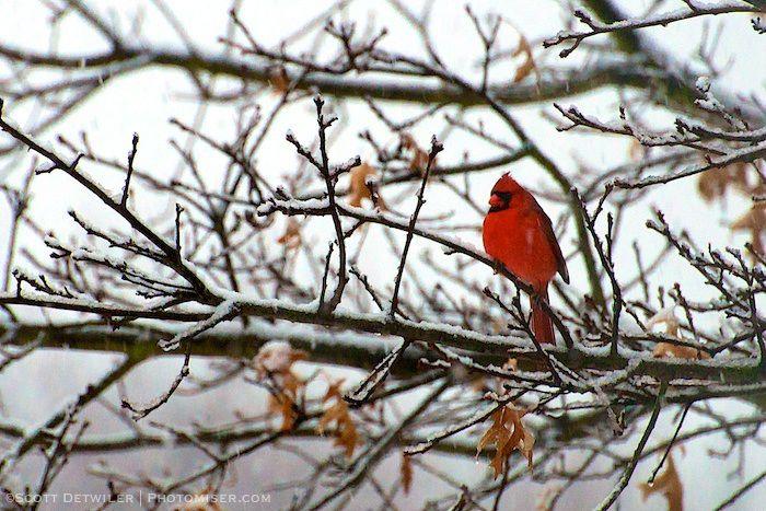 Cardinal Snowfall