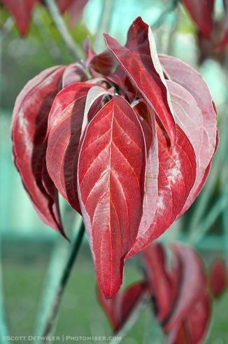 Dogwood Leaves in red fall color