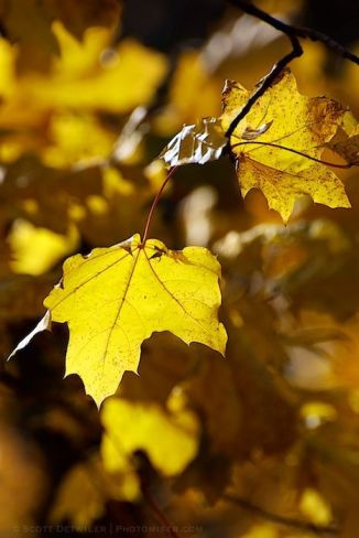 Norway Maple Autumn