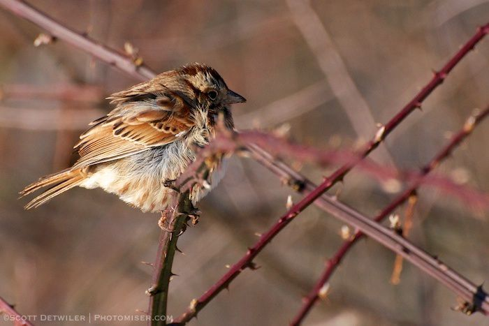 Sparrow in the morning light, feathers ruffled, face shadowed