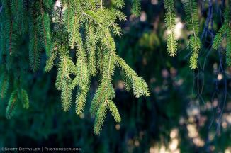Norway Spruce Vignette