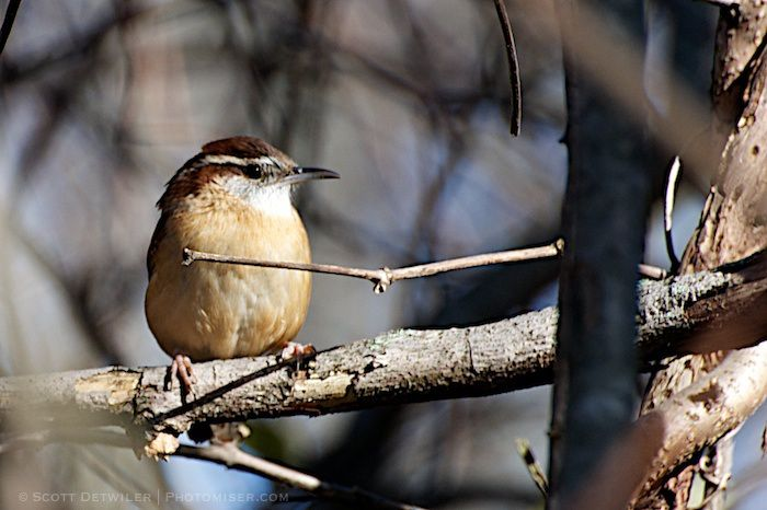 Wren among the twigs