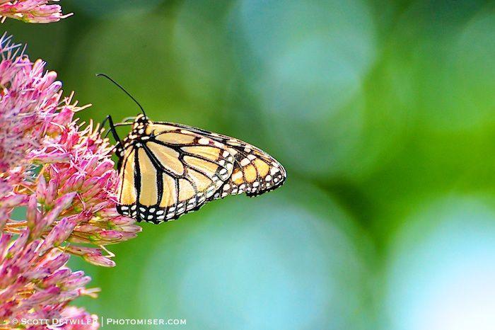 Monarch on Joe Pye Wee