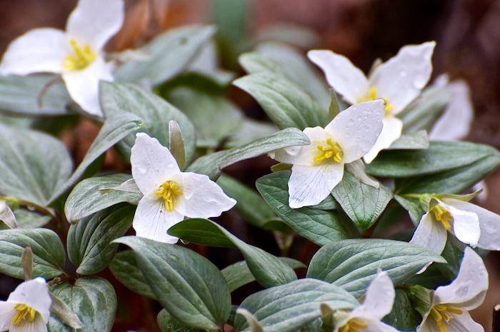 Snow Trillium Bouquet