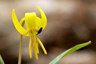 Trout Lily Beetle
