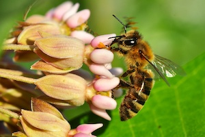 Honeybee on Common Milkweed