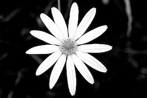 Shocking White Coneflower (yellow coneflower, red filter applied)