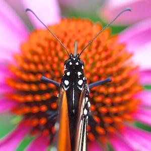 Monarch Symmetry