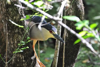 Black-crowned Night Heron intently searches for prey