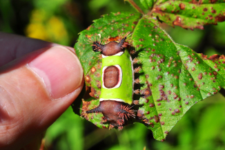 Saddleback Caterpillar with Thumb