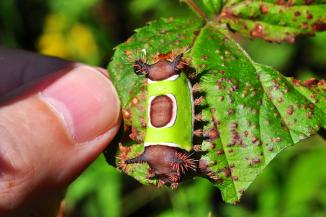 Saddleback Caterpillar with Thumb