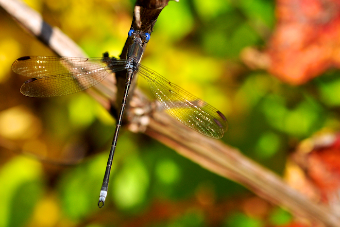Spreadwing Damselfly in Autumn