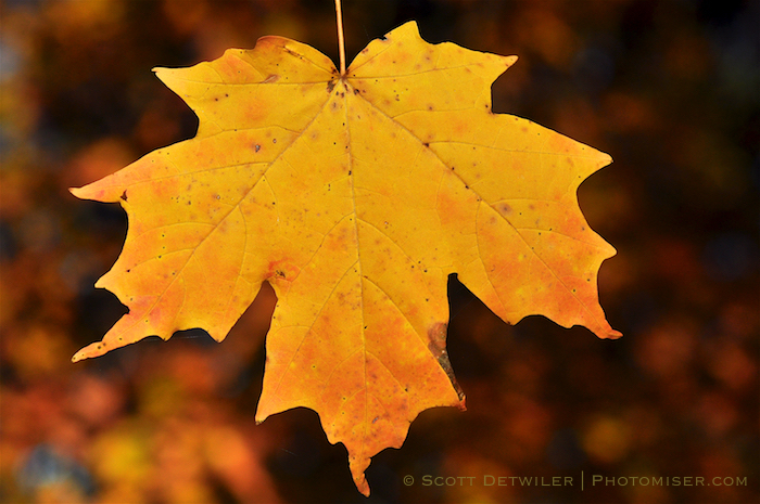 Brilliant Sugar Maple Leaf