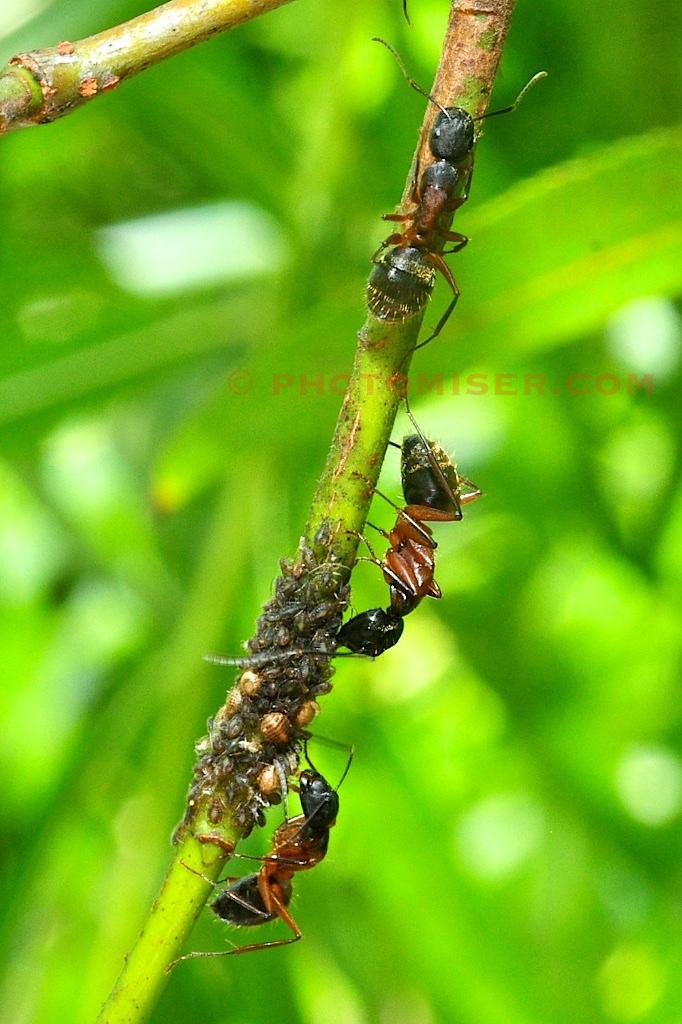 Ants farm aphids on a senna stem