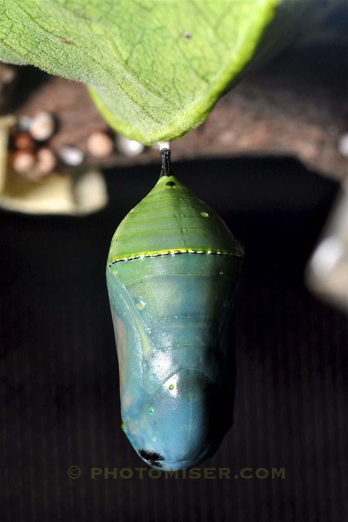 Monarch chrysalis in early October